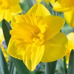 Bulbes Narcisses Dutch...