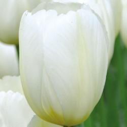 Bulbes Tulipes Antartica...