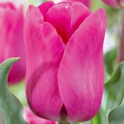 Bulbes Tulipes Barcelone...