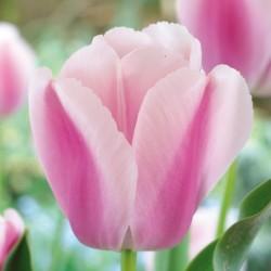 Bulbes Tulipes Ollioules...