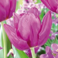 Bulbes Tulipes Purple...