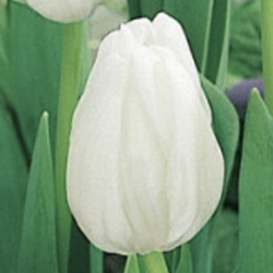 Bulbes Tulipes White...