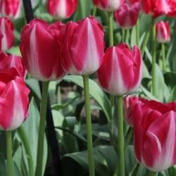 Bulbes Tulipes Amsterdam®...
